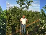 Chandler -Fernor Walnut Saplings (Tree) - photo 3