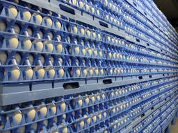 Valilno jajce ROSS-308, od proizvajalca